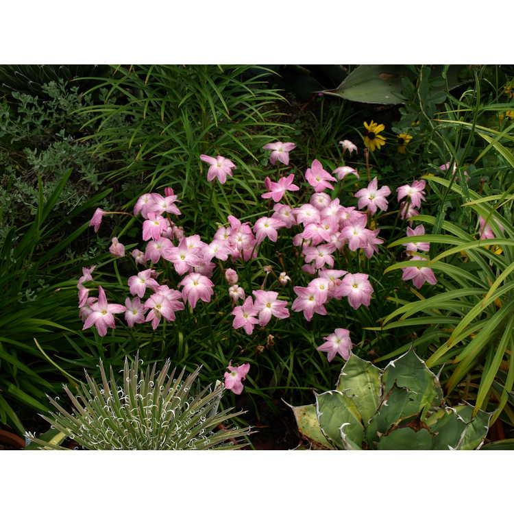Zephyranthes - rain-lily