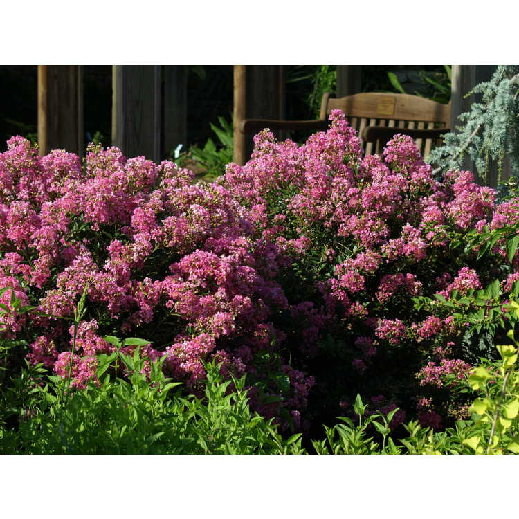 Lagerstroemia 'Gamad V' - Dazzle Me Pink compact crepe myrtle