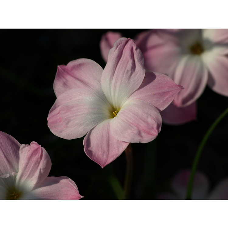 Zephyranthes 'Tention'