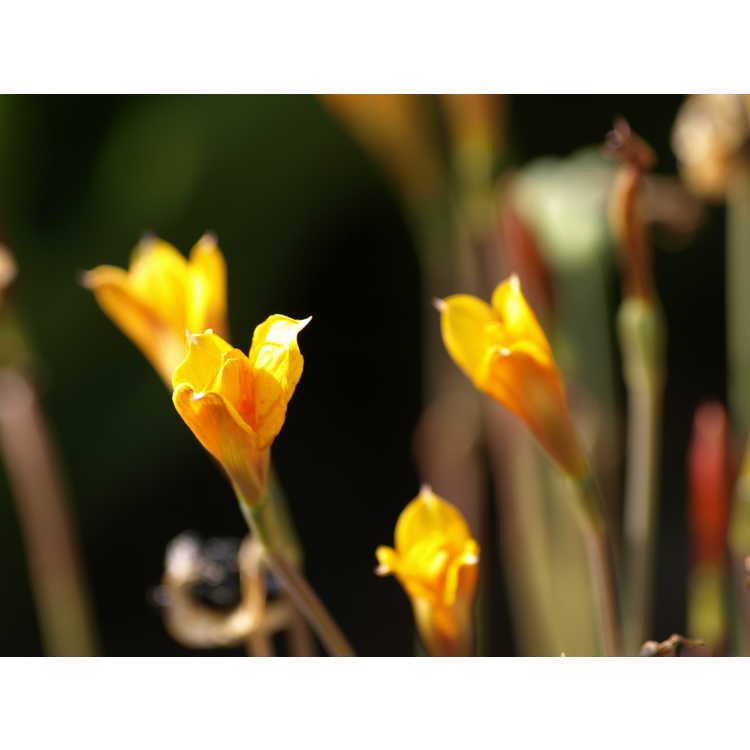 Habranthus tubispathus var. texanus - copper lily