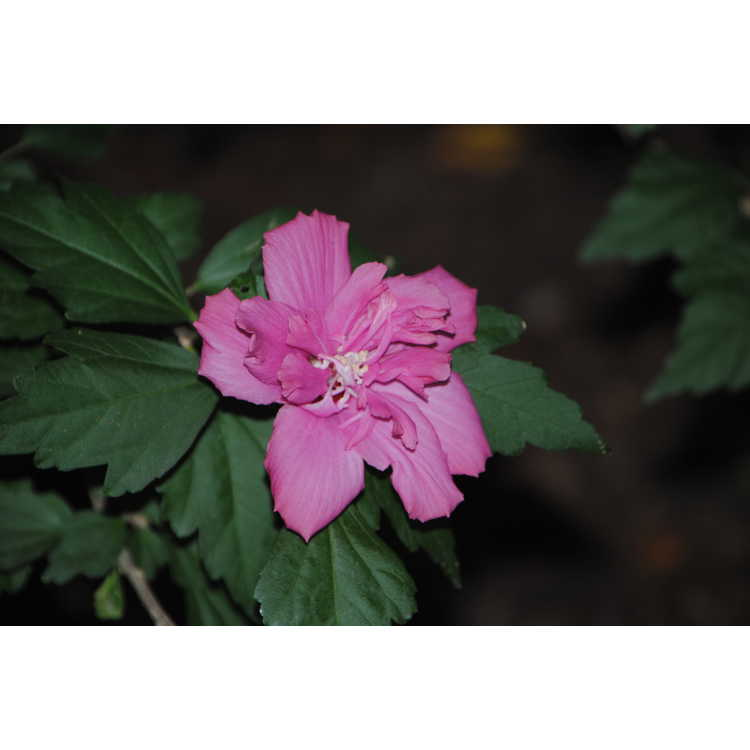 Hibiscus syriacus Boule de Feu