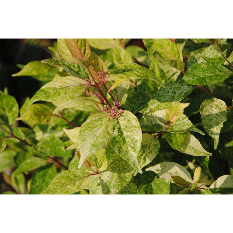 Callicarpa japonica 'Shiji Murasaki' - Wine Spritzer variegated Japanese beautyberry