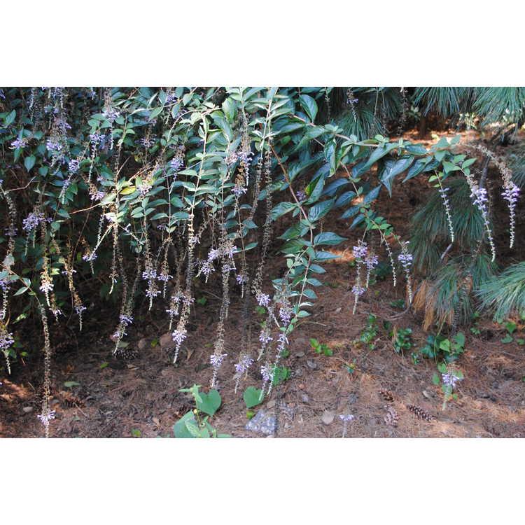 Buddleja lindleyana - Lindley's butterfly-bush