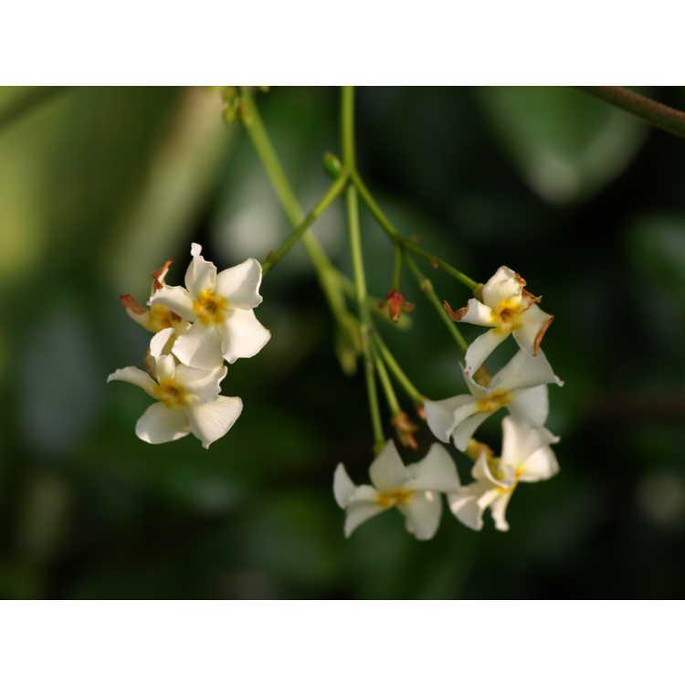 Trachelospermum jasminoides Mandianum