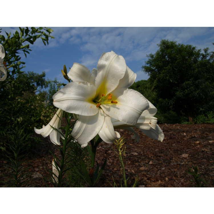 Lilium regale - regal lily