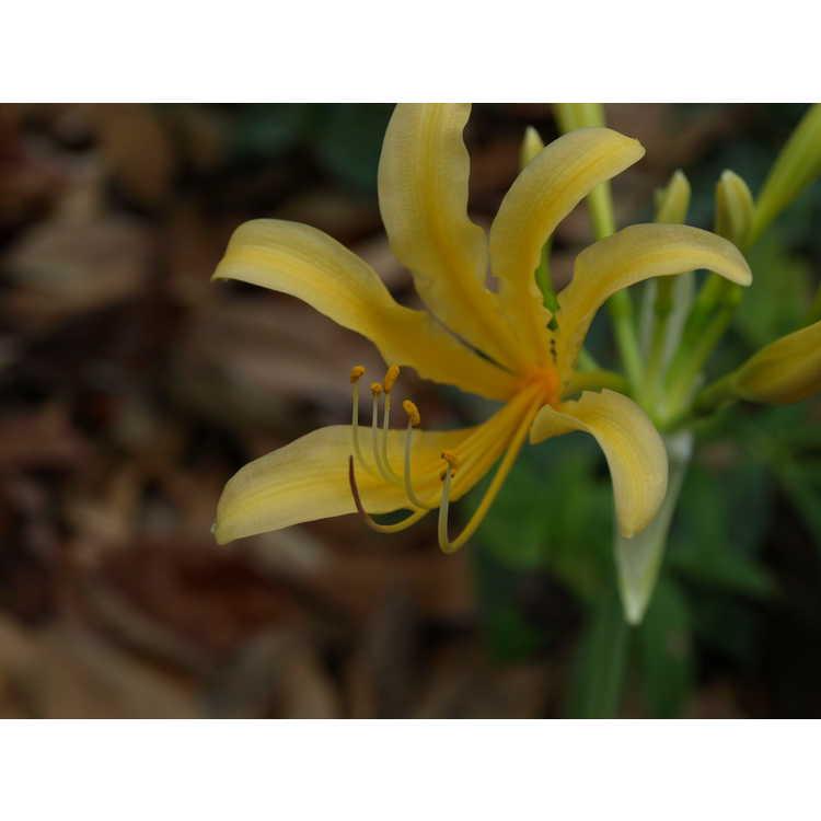 Lycoris chinensis