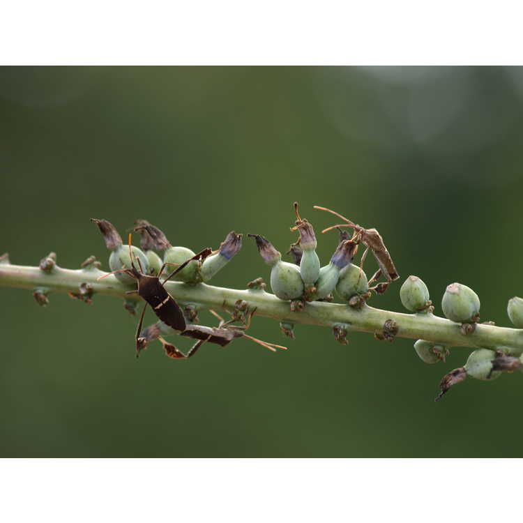 Agave striata var. striata - needle agave
