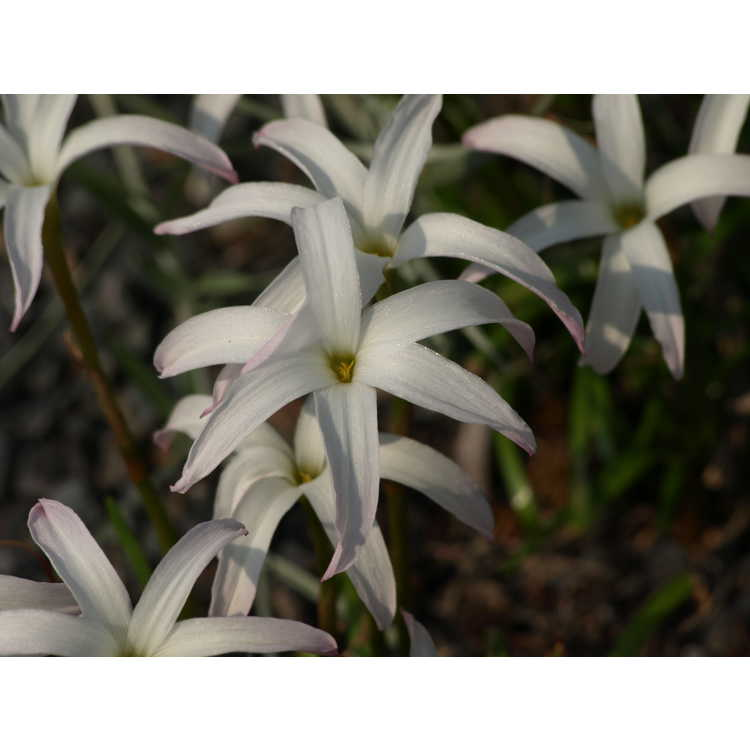 Zephyranthes 'Itsy Bitsy'