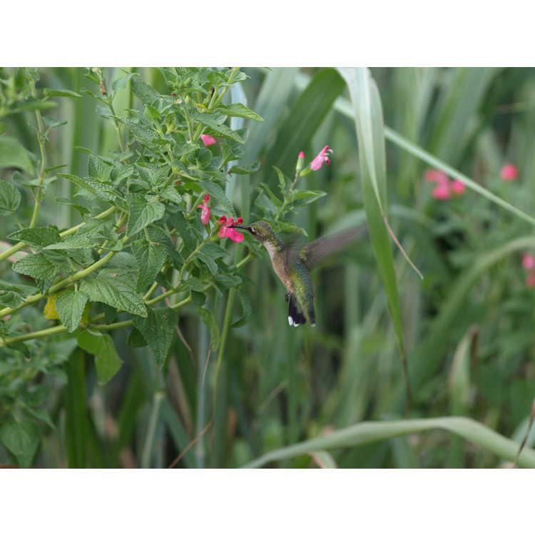 Salvia microphylla - baby sage
