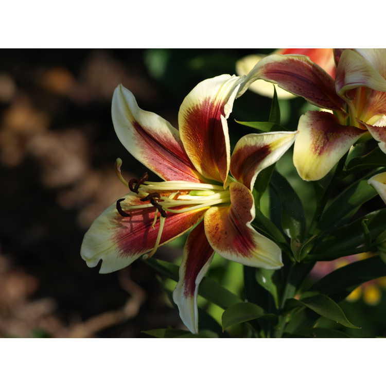 Lilium 'Red Dutch' - hybrid lily