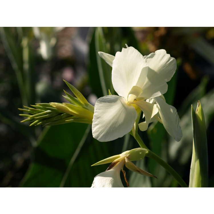 Canna 'Ermine' - canna-lily
