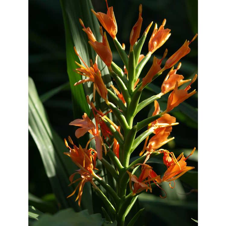 Hedychium Orange Crush