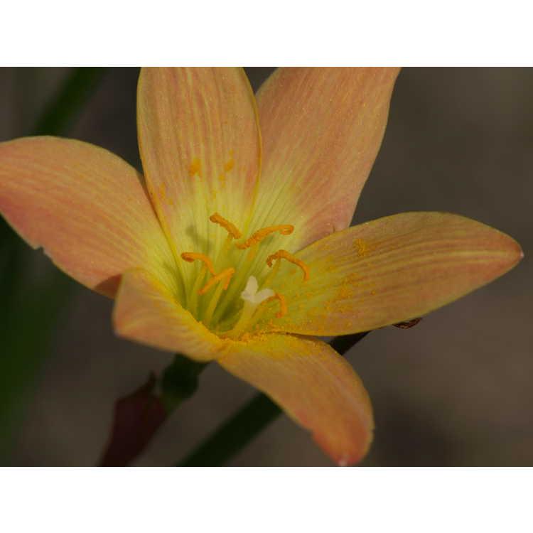 Zephyranthes Java