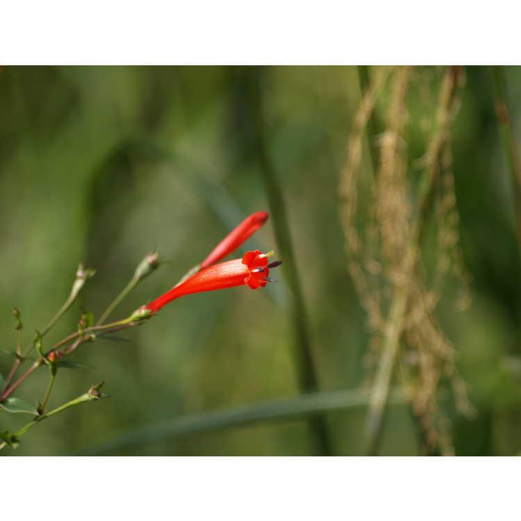 Manettia cordifolia - firecracker vine