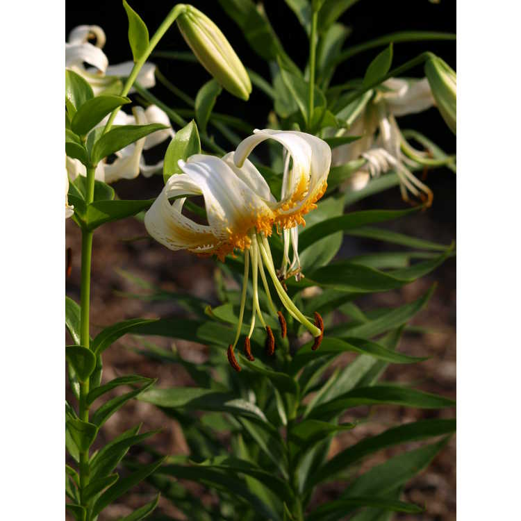 Lilium 'Bright Star'