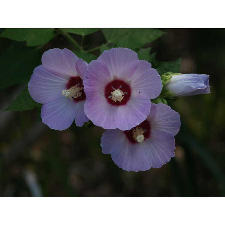 Hibiscus sinosyriacus 'Lilac Queen'