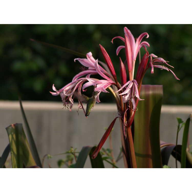 Crinum 'Sangria' - crinum-lily