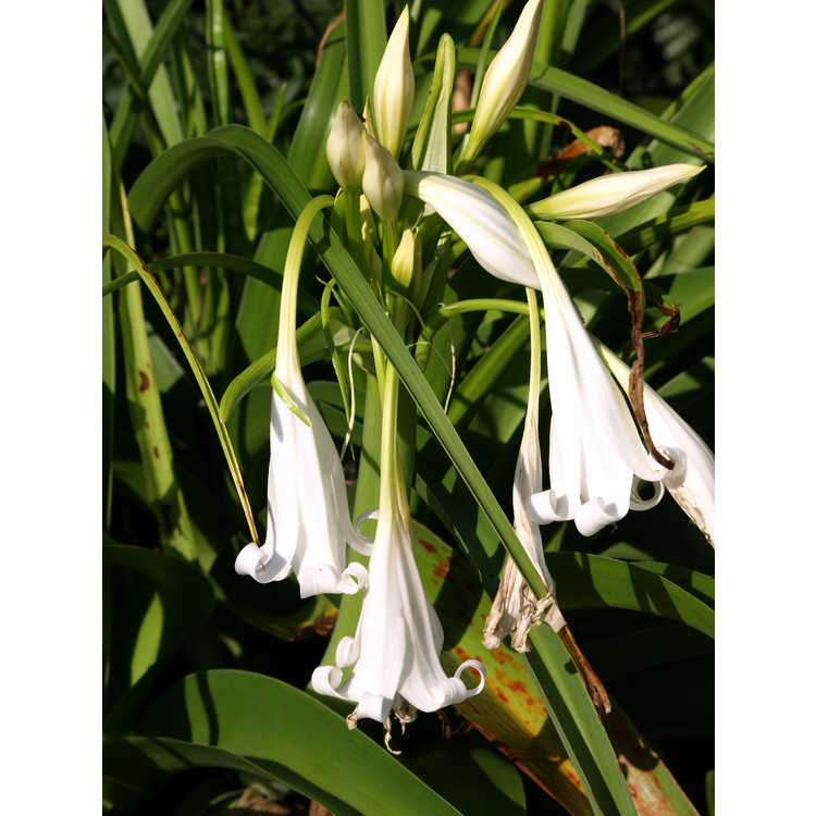 Crinum 'White Queen'