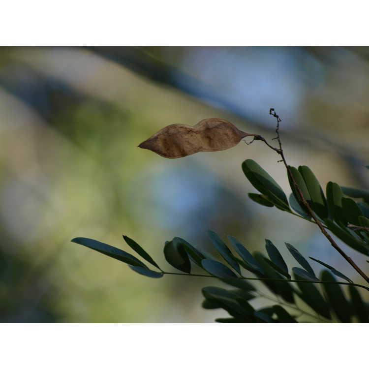 Myrospermum sousanum - arroyo sweetwood