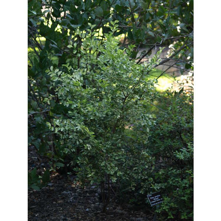 Ulmus parvifolia 'Blizzard'