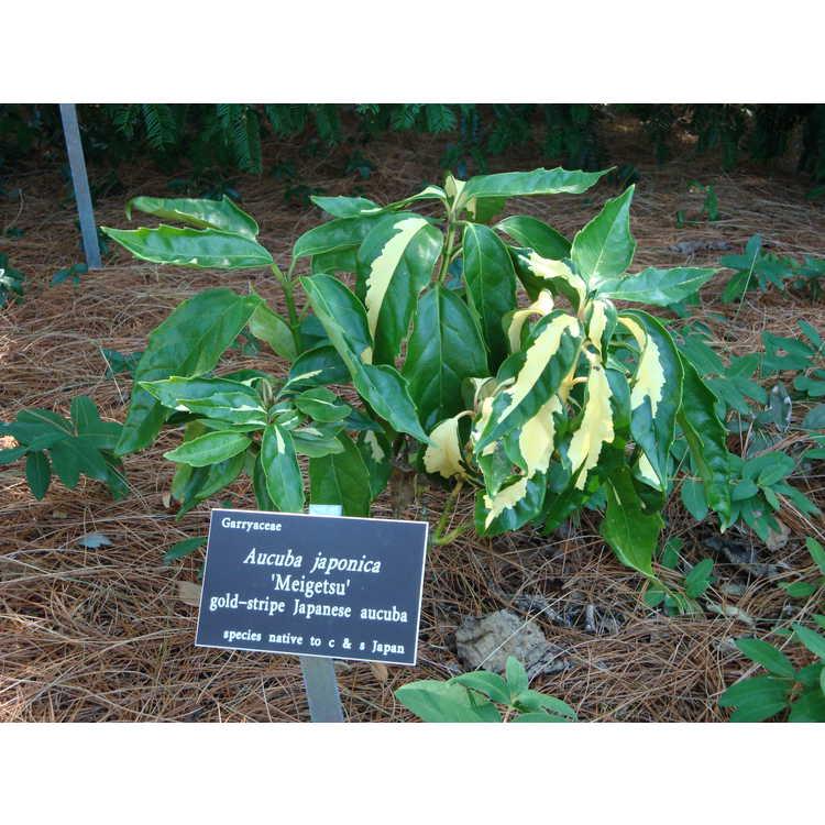 Aucuba japonica 'Meigetsu'