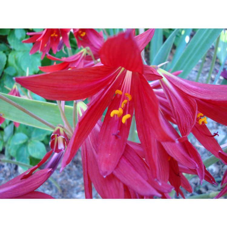 Rhodophiala bifida - oxblood-lily