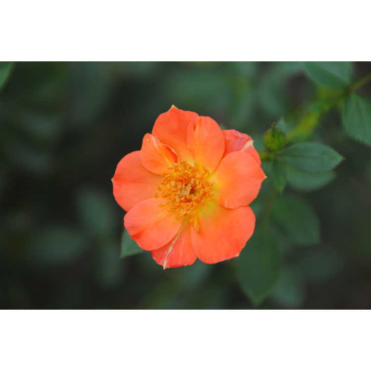 Rosa Chewmaytime Oso Easy Paprika