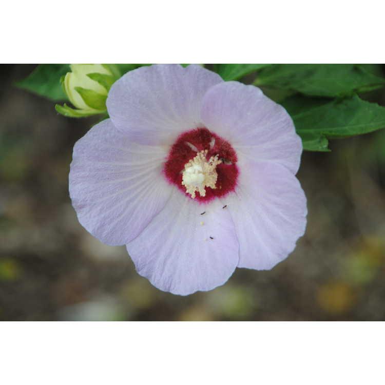 Hibiscus sinosyriacus Lilac Queen