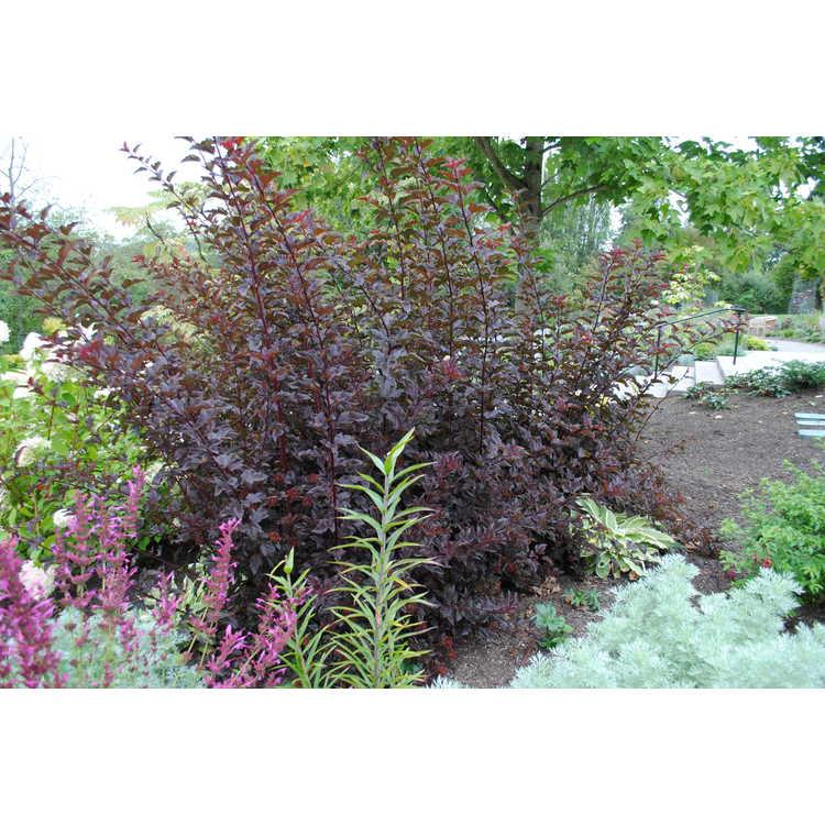 Physocarpus opulifolius 'Monlo' - Diabolo purple-leaf ninebark