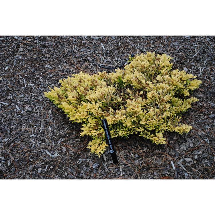 Juniperus horizontalis 'Gold Strike' - golden creeping juniper