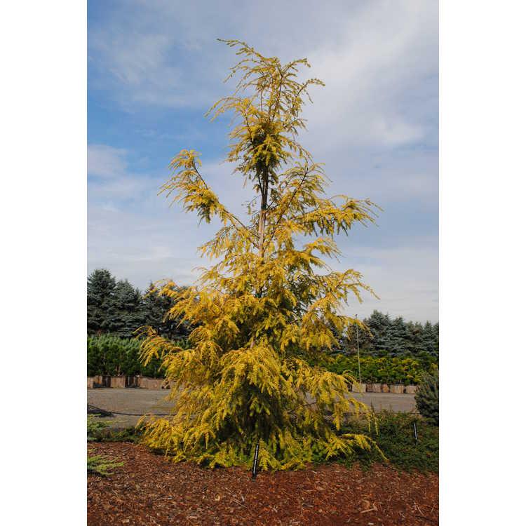 Tsuga canadensis 'Golden Splendor' - golden eastern hemlock