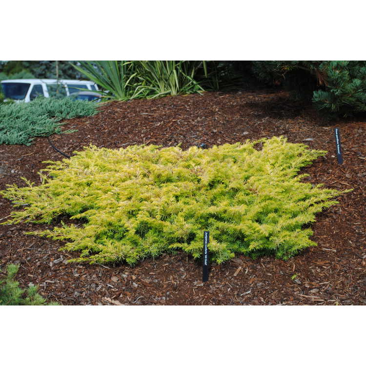 JC Raulston Arboretum - Photographs - <em>Juniperus conferta</em ...