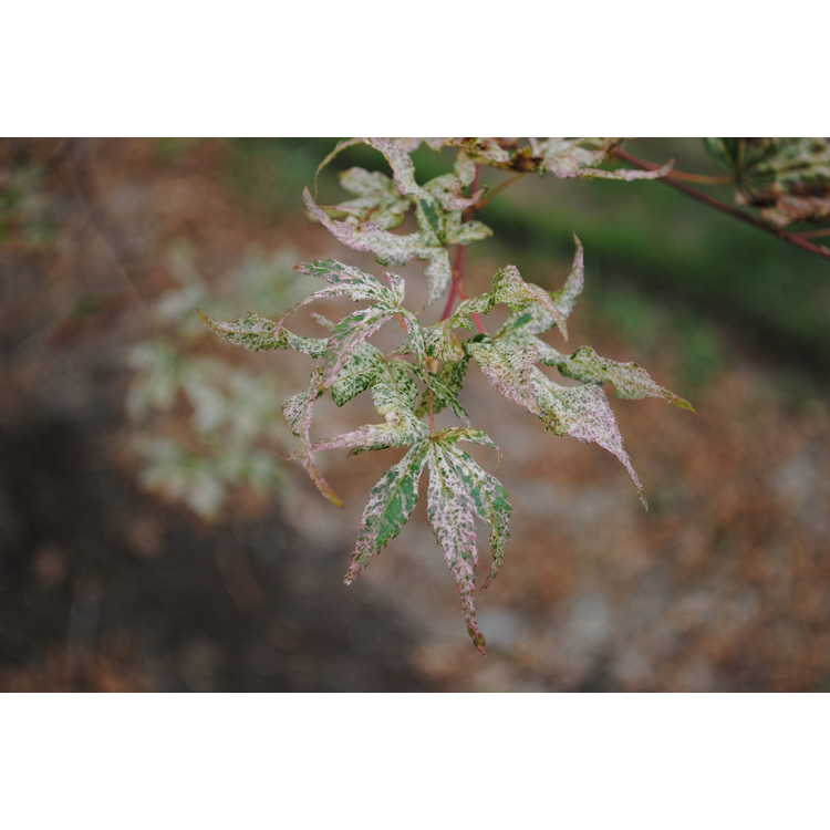 Acer palmatum 'Ukigumo' - variegated Japanese maple