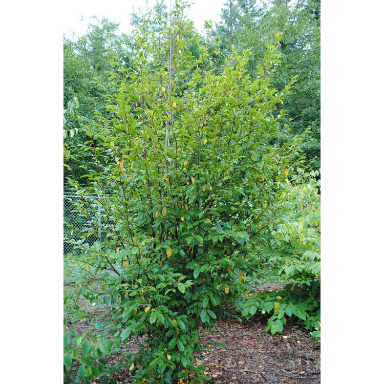 Sycopsis sinensis - Chinese fighazel