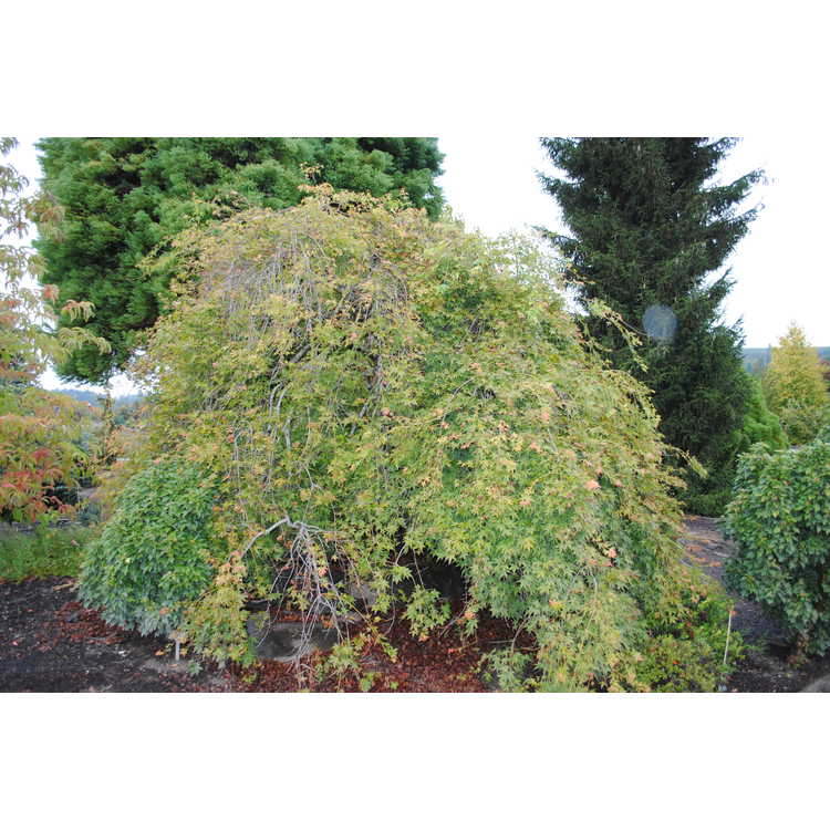 Acer palmatum 'Jirô shidare'