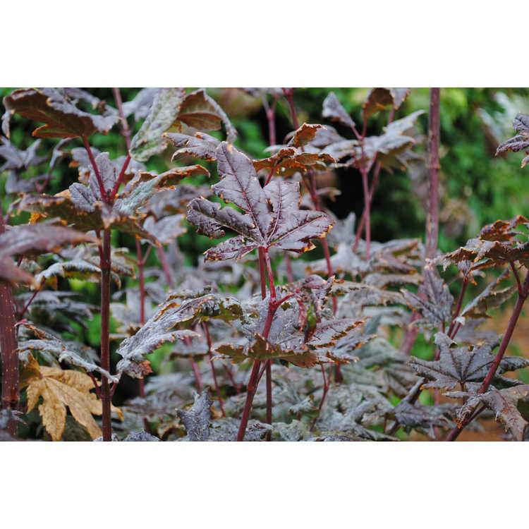 Jc Raulston Arboretum Photographs Of Emacer Circinatumem