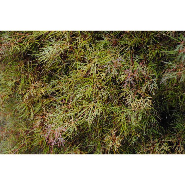 Acer palmatum 'Baby Lace'