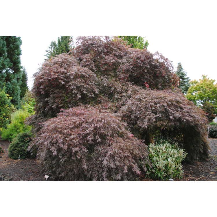 Acer palmatum 'Tamuke yama'