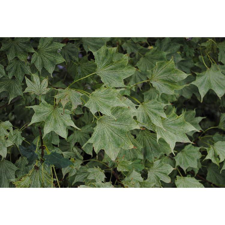 Acer pictum 'Usugumo' - variegated painted maple