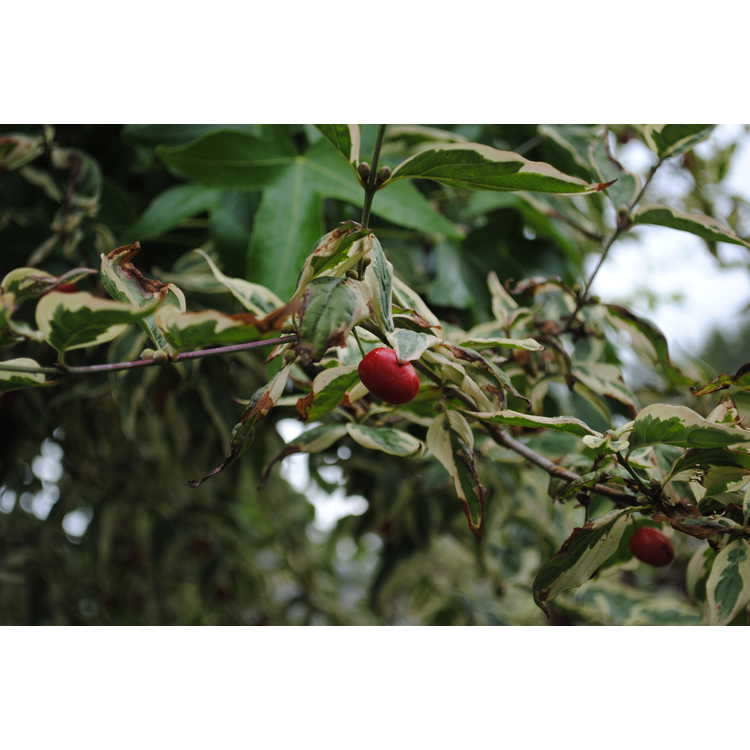Cornus mas 'Variegata' - variegated Cornelian cherry