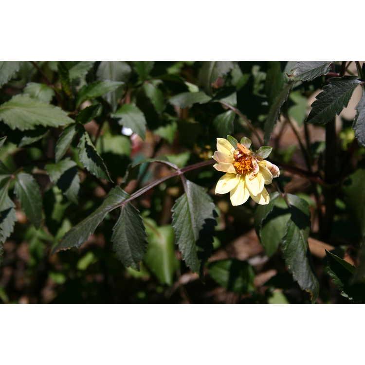 Dahlia 'Classic Summertime' - garden dahlia