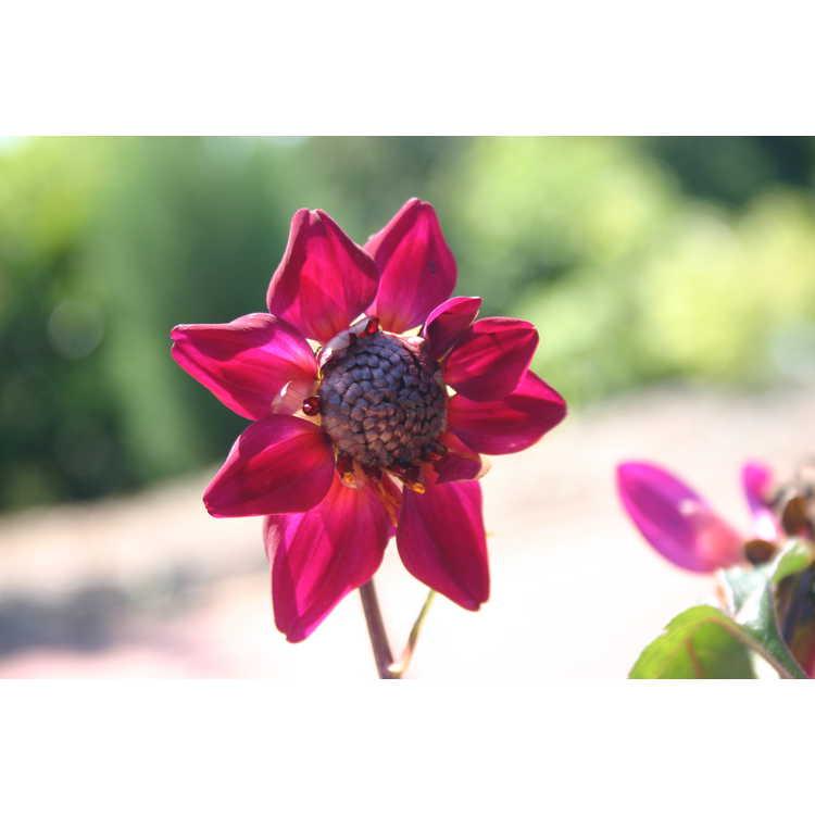 Dahlia (ex. 'Knockout') - garden dahlia