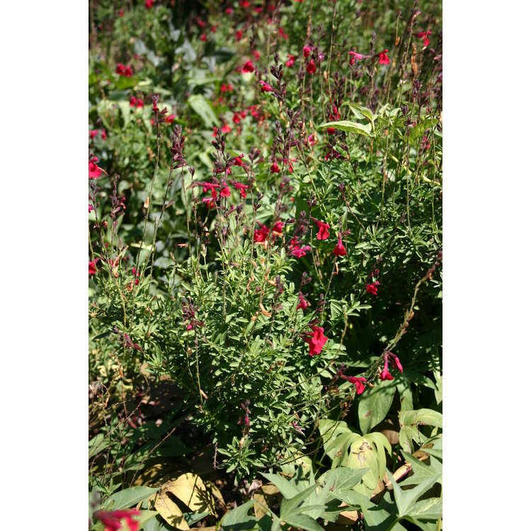 Salvia 'Red Letter' - hybrid autumn sage