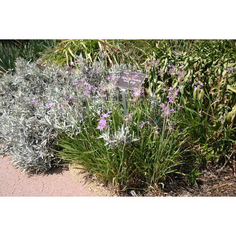 Tulbaghia violacea - society garlic