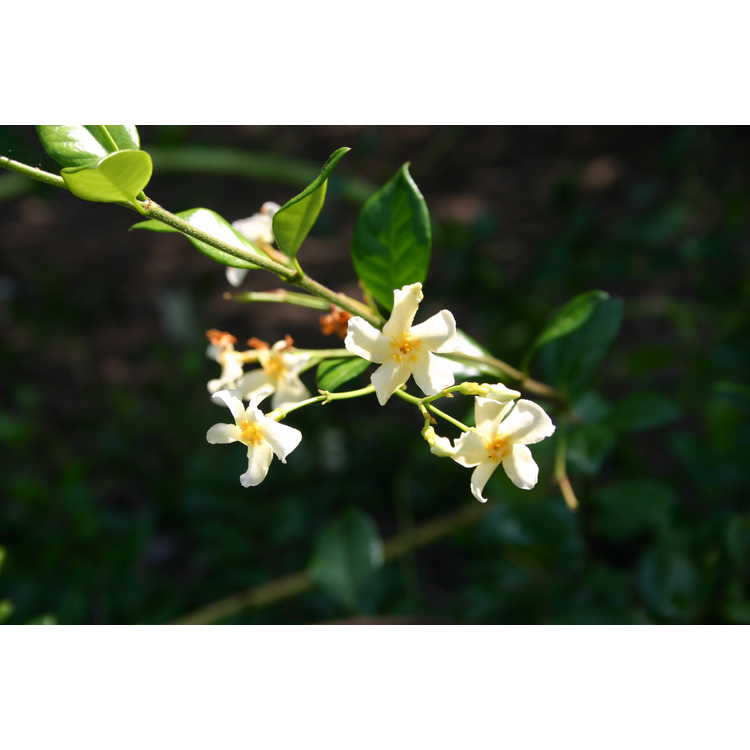 Trachelospermum jasminoides 'Mandianum' - yellow Confederate jessamine