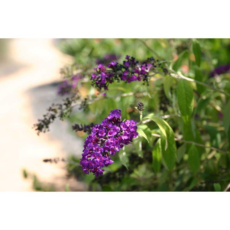 Buddleja davidii 'Evil Ways' - golden butterfly-bush