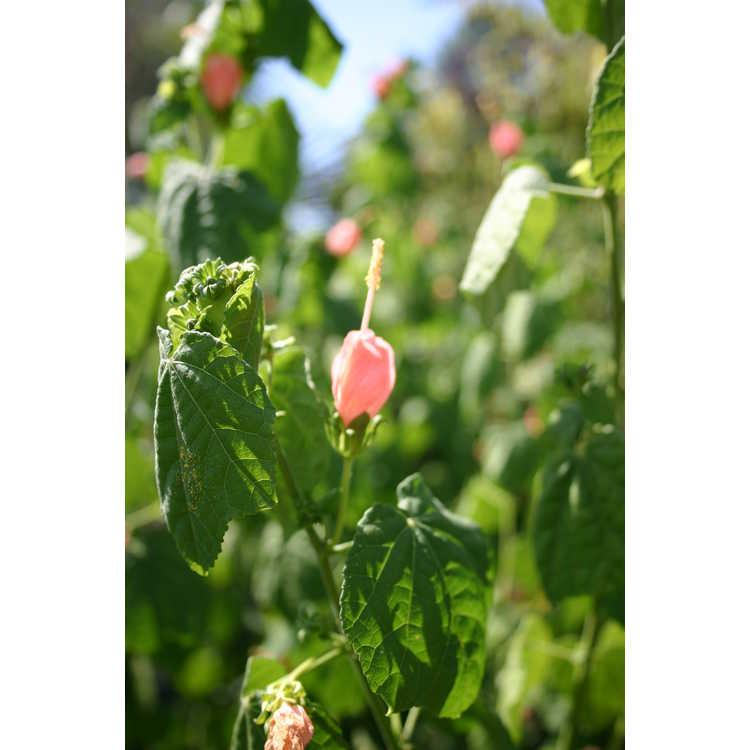 Malvaviscus arboreus var. drummondii 'Pam Puryear'
