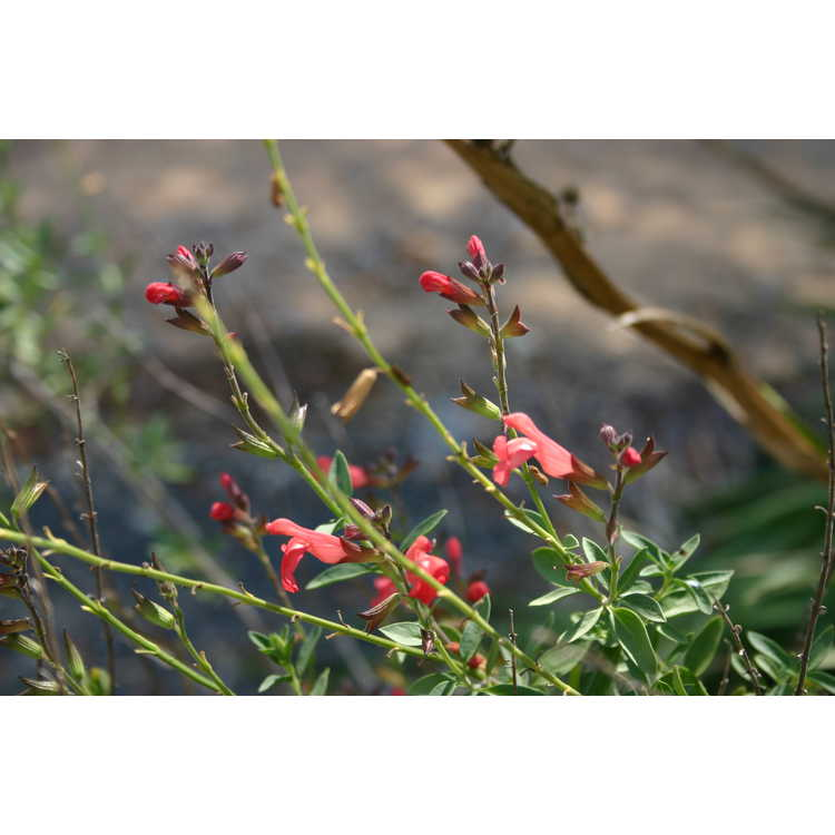 Salvia greggii 'Rfd-S016' - Navajo Salmon Red autumn sage