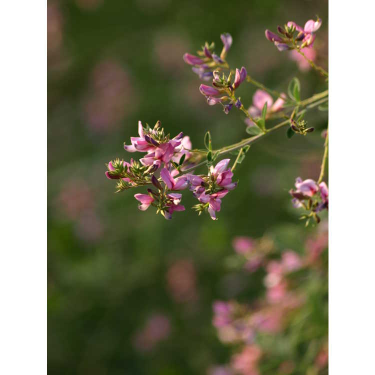 Lespedeza thunbergii 'Pink Cascade' - pink bush-clover