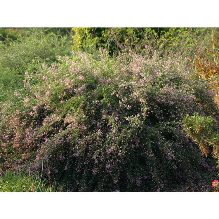 Lespedeza thunbergii Pink Cascade
